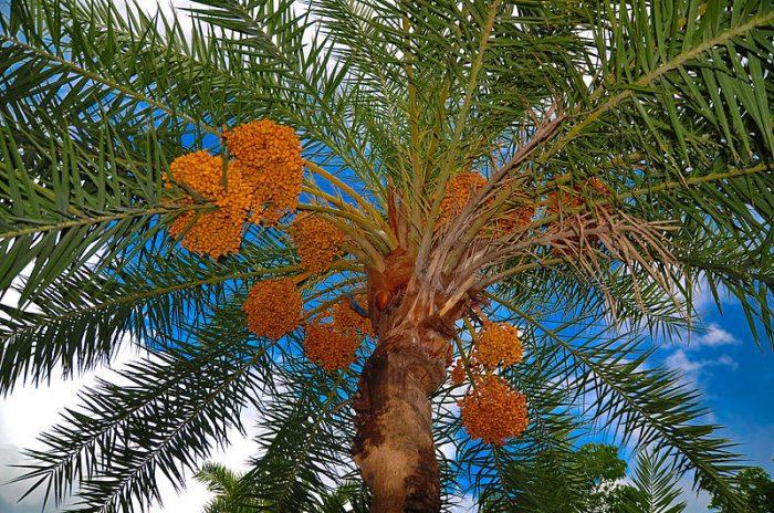 Date_palm_tree